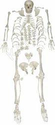 Disarticulated Skeleton Anatomical Model