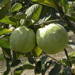 Thai Gold Guava Plants ( Taiwan Variety)