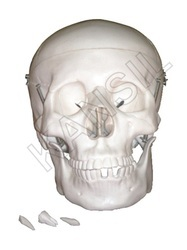 Life Size Skull For Bones & Skeleton Model