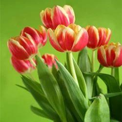 Tulip Absolute Oil