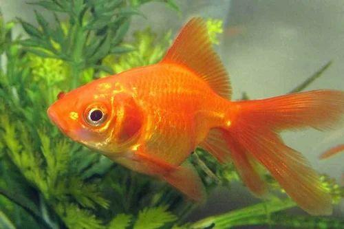 Hybrid Fish - Aquarium Gold Fish Wholesale Supplier from ...