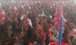 Al Noor 100 A Pure Country Chickens