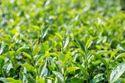 Green Tea Extract 95% Polyphenol