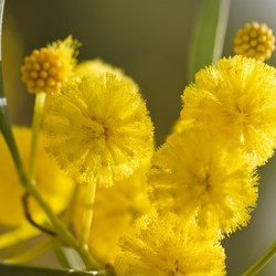 Cassia Flower Absolute Oil