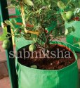Lemon Plant in Subhiksha Grow Bags