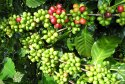 Griffonia Simplicifolia Extract