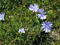 Kasni (Chicory) Herbal Extract