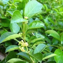 Berberis Aristata Extract