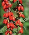 Natural Goji Berries Extract 10-50% Polysaccharides