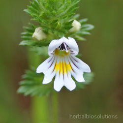 Eyebright Herb Extract