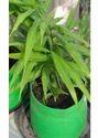 Ginger Plant Bag