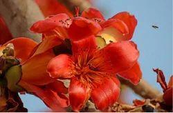 Semal Flower