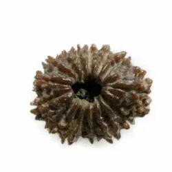 Fifteen Faced Rudraksha Bead