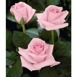 Rose flowers pink rose flower manufacturer from bengaluru pink rose flower mightylinksfo