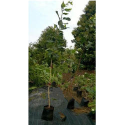 Ficus Benghalensis Plant