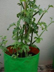 Medicinal Plants (Pirandai)