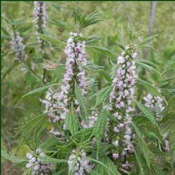 Motherwort Extract