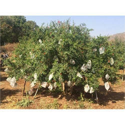 Fruit Shield Fruit Cover 6 inch diameter