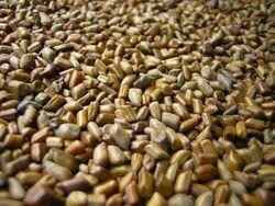 KASAUDI,Coffee Senna,Cassia Occidentalis