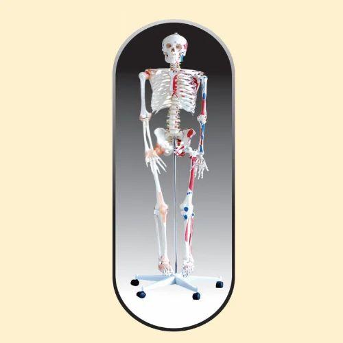 High Quality Skeleton Models - Human Skeleton Manufacturer from Kolkata