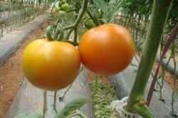 Tomato Seeds - RAZYMO