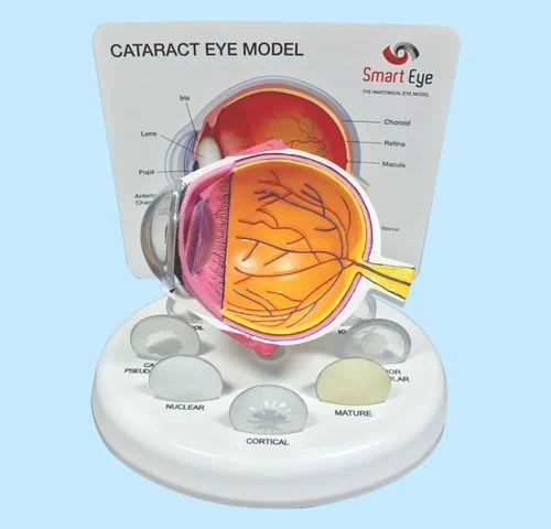 Anatomical Eye Models Cataract Eye Model Manufacturer From Mumbai