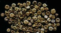 Common Mallow/Khubbazi Seeds/Malva Sylvestris Linn