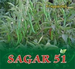 SAGAR 51 F-1 Hybrid Chilli Seed