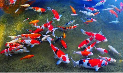 japanese koi fish japanese koi garden pond service provider from kochi - Japanese Koi Garden