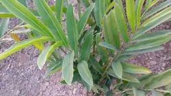 Khulanjan Ext. (6:1) Herbal Extract