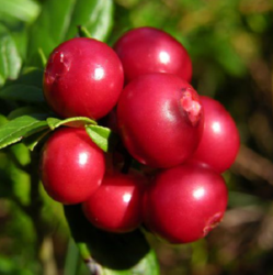 Lingonberry Extract