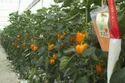 SYMPATHY Orange Capsicum Seeds