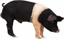 Hampshire Ghungroo Cross Pig