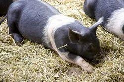 Hampshire Piglet