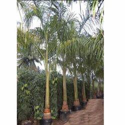 Botal Palm Tree