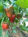 MASSILIA Red Capsicum Seeds