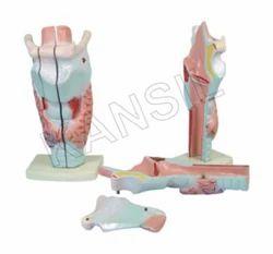 Human Larynx Model