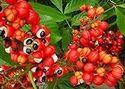 Guarana Seed Caffein Extract
