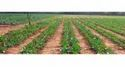 Short Term Crop Drip Irrigation