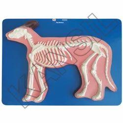 Dog Skeleton For Veterinary Model