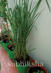 Lemon Grass In Subhiksha Grow Bags