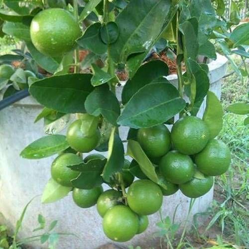 Tissue Culture Plants Balaji Lemon Plants Manufacturer