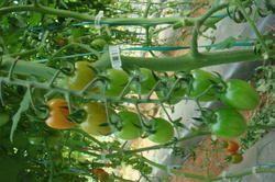 Pareso Tomato Seeds