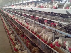 Poultry Cages