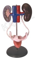 Female Urogenital System For Anatomical Model