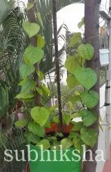 Betel Leaves Plant In Grow Bags