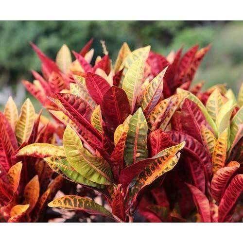 What Is A Croton Plant: गार्डन प्लांट, बगीचे के लिए