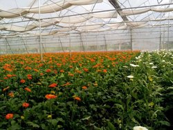 Gerbera Flower Under Polyhouse