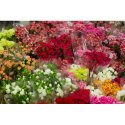 Pink Carnation Cut Flower, Packaging Size: 12 Piece