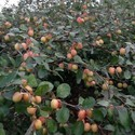 Red Apple Ber Plant